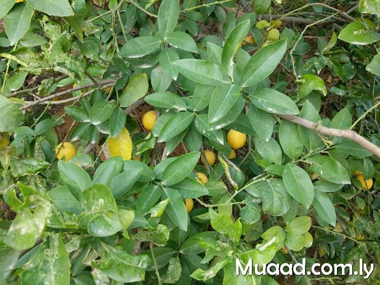 عندما تعطيك الحياة الليمون